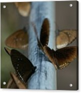 Brown Butterflies Acrylic Print