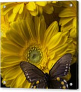 Brown Butterfly On Yellow Daisies  Acrylic Print
