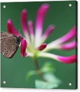 Brown Butterfly Resting On The Pink Plant Acrylic Print