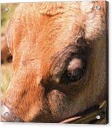 Brown Cow 2 Acrylic Print
