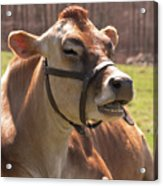Brown Cow Chewing Acrylic Print