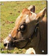Brown Cow Acrylic Print