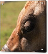 Brown Cow With Vignette Acrylic Print