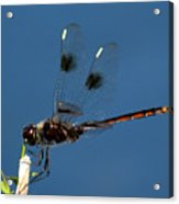 Brown Dragonfly Hanging On Acrylic Print