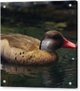 Brown Duck Acrylic Print