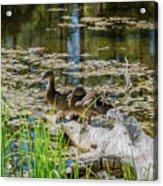 Brown Ducks On Log Acrylic Print