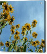 Brown-eyed Susans From Below Acrylic Print