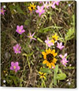 Brown Eyed Susans With Rose Gentian Flowers Acrylic Print