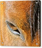 Brown-eyed Wild Horse Acrylic Print