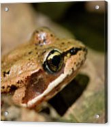 Brown Frog In The Forest - Western Oregon Acrylic Print