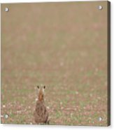 Brown Hare, Brown Field Acrylic Print