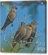 Brown-headed Cowbirds Acrylic Print