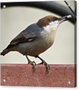Brown-headed Nuthatch Acrylic Print