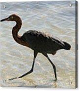 Brown Heron Acrylic Print