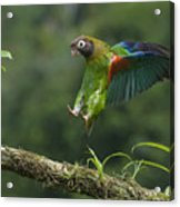 Brown-hooded Parrot Acrylic Print