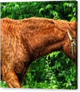 Brown Horse In High Definition Acrylic Print
