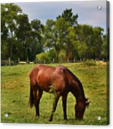 Brown Horse In Holland Acrylic Print
