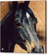Brown Horse  Tingeys Star Acrylic Print