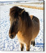 Brown Icelandic Horse In Winter In Iceland Acrylic Print