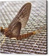 Brown Mayfly On Screening    Spring      Indiana Acrylic Print
