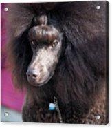 Brown Medium Poodle Acrylic Print