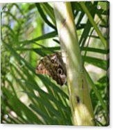Brown Morpho Butterfly Resting On A Sunny Tree  Acrylic Print