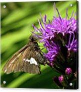 Brown Moth On Pink Acrylic Print