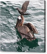 Brown Noddy Atop Pelican Scouts Dinner Acrylic Print