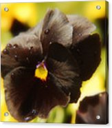 Brown Pansy Acrylic Print