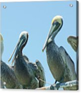 Brown Pelican 4 Acrylic Print