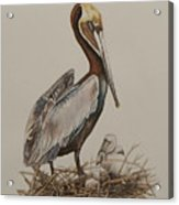 Brown Pelican And Chicks Acrylic Print