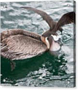 Brown Pelican And His Friend Brown Noddy Acrylic Print
