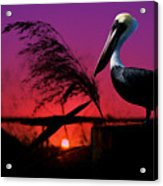 Brown Pelican At Sunset - Painted Acrylic Print