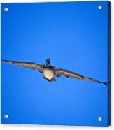 Brown Pelican Flying Acrylic Print