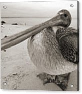 Brown Pelican Folly Beach Morris Island Lighthouse Close Up Acrylic Print by Dustin K Ryan