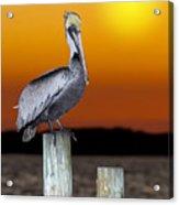 Brown Pelican Acrylic Print