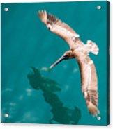 Brown Pelican Offshore Acrylic Print