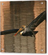 Brown Pelican On A Sunset Flyby Acrylic Print
