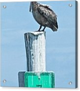 Brown Pelican On Marker 7 Acrylic Print
