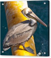 Brown Pelican On Platfrom Acrylic Print