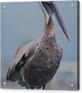 Brown Pelican On The Dais Acrylic Print