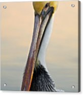 Brown Pelican Portrait Acrylic Print