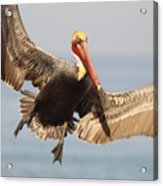 Brown Pelican Putting On The Brakes Acrylic Print