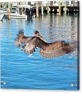 Brown Pelican Taking Flight Acrylic Print