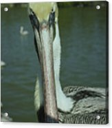 Brown Pelican Up Close Acrylic Print