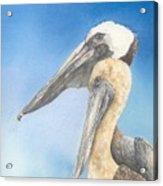 Brown Pelicans Acrylic Print