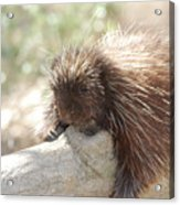 Brown Porcupine On A Fallen Log Acrylic Print