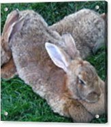 Brown Rabbits Acrylic Print