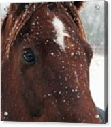 Brown Snow Horse Acrylic Print