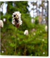 Brown Spruce Longhorn Beetle Acrylic Print
